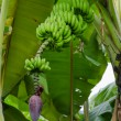 BananTree — Stock Photo #12431439