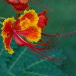 Caesalpinia Pulcherrima — Stock Photo