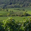 Stock Photo: Vineyards in Rhineland Palatinate