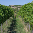 Stock Photo: Vineyard in Rhineland Palatinate