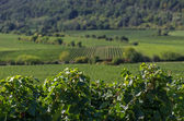 Vineyards in Rhineland Palatinate — Stock Photo