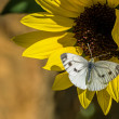 Cabbage white butterfly on a sunflower - ストック写真