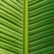 Royalty-Free Stock Photo: Close up view of a banana leaf