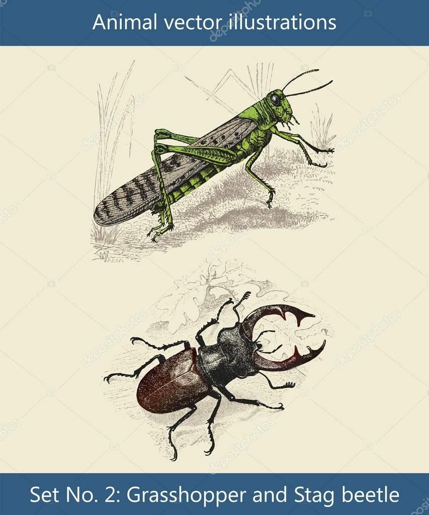 Animal vector illustrations, Grasshopper and Stag beetle — Stock Vector #13962885