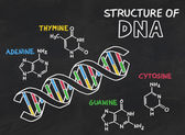 Chemical structure of DNA on a blackboard — Stock Photo