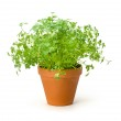 Chervil in a clay pot — Stock Photo #22370879