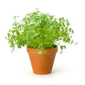 Chervil in a clay pot — Stock Photo