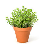 Oregano in a clay pot — Foto Stock