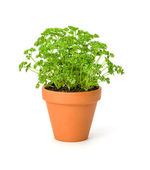 Parsley in a clay pot — Foto Stock