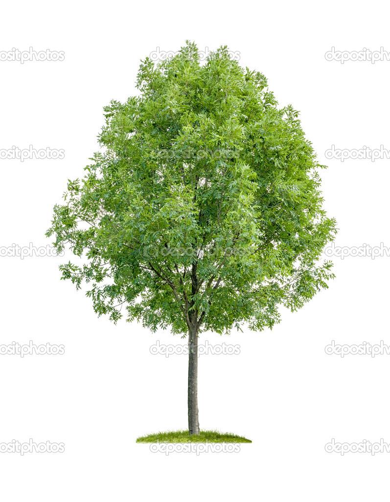 Arbre feuilles caduques isol sur fond blanc - Arbres a feuilles caduques ...
