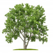 Stock Photo: Isolated lime tree on a white background