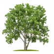 Isolated lime tree on white background — Stock Photo #27517927