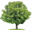 Isolated lime tree on a white background — Stock Photo