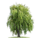 Isolated weeping willow on a white background — Stock Photo