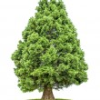 Isolated redwood tree on white background — Stock Photo #28581711