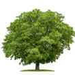 Stock Photo: Isolated walnut tree on a white background