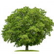 Isolated walnut tree on a white background — Stock Photo