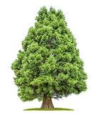 Sequoia isolato su sfondo bianco — Foto Stock