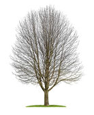 Isolated horse chestnut tree in the winter — Stock Photo