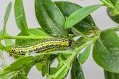 Caterpillar of the box tree moth (Cydalima perspectalis) — Stock Photo