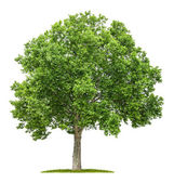 Isolated plane tree on a white background — Stock Photo