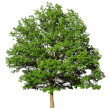 Oak tree isolated on white background — Stock Photo