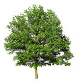 Oak tree isolated on white background — Stock Photo