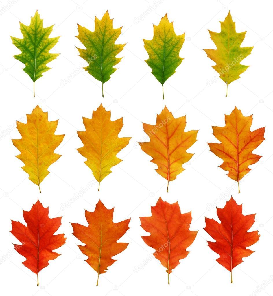 橡木秋天的叶子