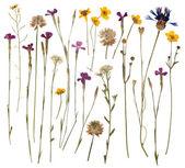 Gepresste wildblumen, die isoliert auf weißem hintergrund — Stockfoto