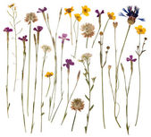 Presionado flores silvestres aisladas sobre fondo blanco — Foto de Stock
