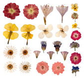 Pressed flowers isolated on white background — 图库照片