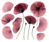 Dry, pressed poppy flowers isolated on white background — 图库照片
