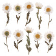 Pressed daisy flowers isolated on white background — Stock Photo #22881006