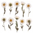 Pressed daisy flowers isolated on white background — Stock Photo