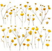 Pressed yellow wildflowers isolated on white — 图库照片