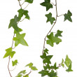 Stock Photo: Ivy isolated on white background