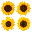 Sunflowers isolated on white background — Stock Photo #35794075