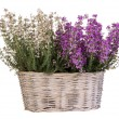 Heather in basket isolated on white — Stock Photo #37194901