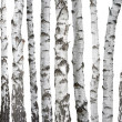 Birch trunks isolated on white background — Stock Photo #49435797