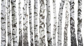 Birch trunks isolated on white background — Stock Photo