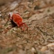 Stock Photo: Tick looking for food