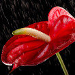 Red flamingo flower with water drops — Stock Photo #12229432