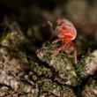 Tick on a bark — Stock Photo