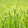 Stock Photo: Green wheat field