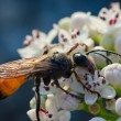 Wasp on white flower — Stock Photo