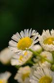 Voler sur une fleur de camomille — Photo