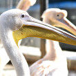 Pelicans at zoo — Stock Photo #12694642