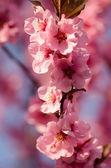 Flor de cerezo japonés — Foto de Stock