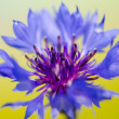 Cornflower — Stock Photo #29803587