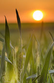 Ears of wheat still green — Stock Photo